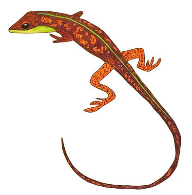 Salamanders Drawing - Salamander by Baya Clare