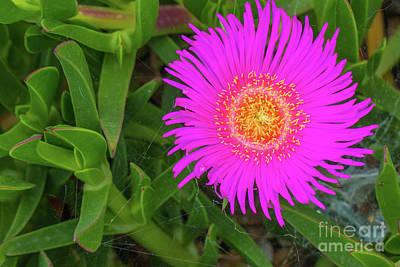 Sally-my-handsome Succulent Flower - Carpobrotus Acinaciformis Print by Jivko Nakev