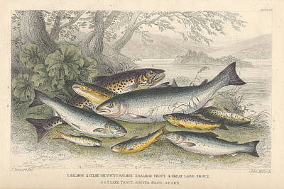Salmon Drawing - Salmon And Trout by Oliver Goldsmith
