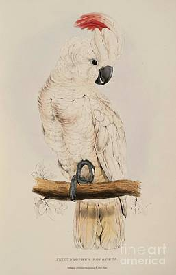 Cockatoo Painting - Salmon Crested Cockatoo by Pg Reproductions