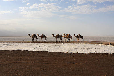 Camel Photograph - Salt Caravans, Danakil Depression, Ethiopia by Aidan Moran