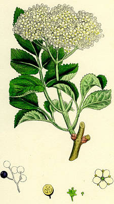 Berry Drawing - Sambucus Nigra Common Elder by Unknown
