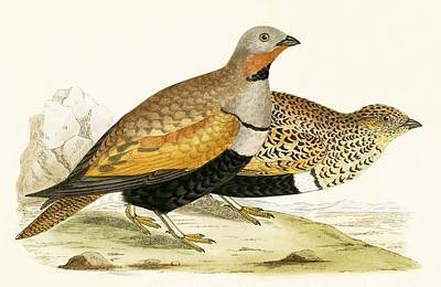 Pheasant Drawing - Sand Grouse by English School