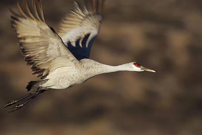 Sandhill Crane Flying Bosque Del Apache Print by Tim Fitzharris