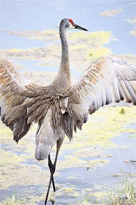 Sandhill Crane Wings Print by Carol Groenen