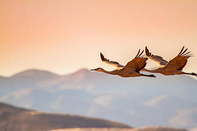 Sandhill Cranes Flying Over New Mexico Mountains - Bosque Del Apache, New Mexico Print by Ellie Teramoto