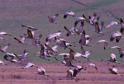 Flock Of Bird Photograph - Sandhill Cranes  by Jeff Swan