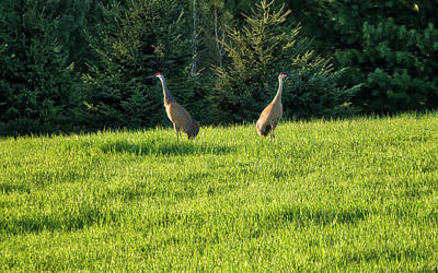 Photograph - Sandhill Cranes - Wisconsin by Steven Ralser