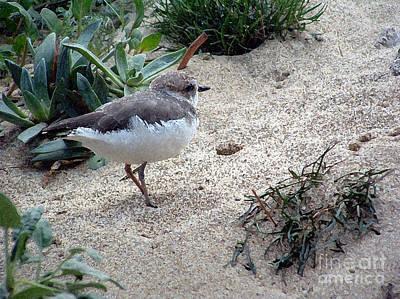 Sandpiper Photograph - Sandpiper by Chere Lei