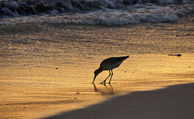 Sandpiper In Evening Print by Sandy Keeton