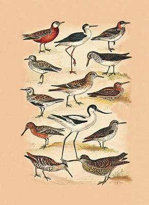 Sandpiper Mixed Media - Sandpipers Snipes And Others by Eric Kempson