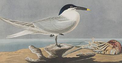 American Food Drawing - Sandwich Tern by John James Audubon
