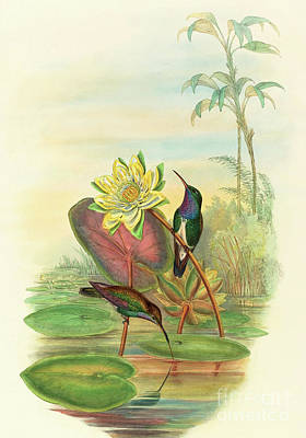 Waterlily Drawing - Sapphire Breasted Emerald by John Gould