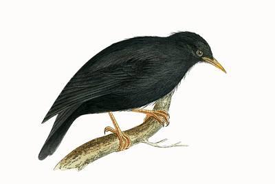 Starlings Drawing - Sardinian Starling by English School