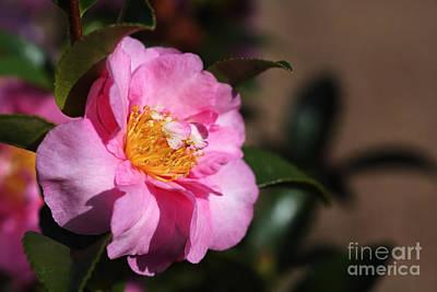 Photograph - Sasanqua Camellia by Joy Watson