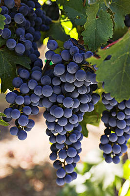 Leaves Photograph - Sauvignon Grapes by Garry Gay