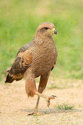 Wetlands Photograph - Savanna Hawk Buteogallus Meridionalis by Panoramic Images