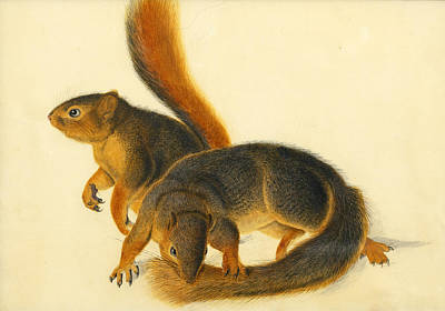 John James Audubon Painting - Say's Squirrel by John James Audubon