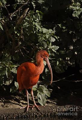 Scarlet Ibis Print by Anne Rodkin