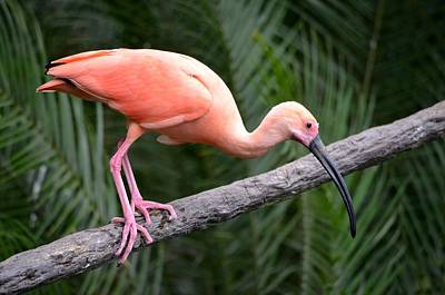 Ibis Photograph - Scarlet Ibis by Richard Bryce and Family