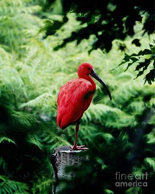 Ibis Digital Art - Scarlet Ibis  by Terril Heilman