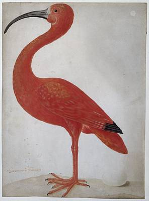 Ibis Painting - Scarlet Ibis With An Egg by Maria Sibylla