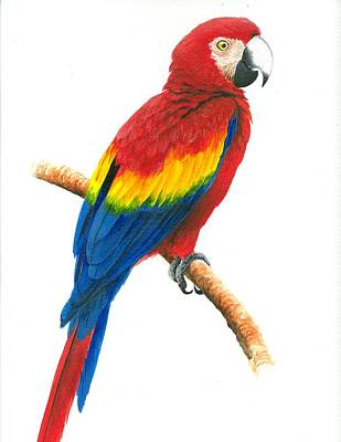 Macaw Art Painting - Scarlet Macaw by Christopher Cox