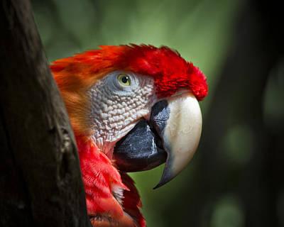 Scarlet Macaw Print by Roger Wedegis