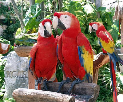Macaw Photograph - Scarlet Macaws by Ellen Henneke