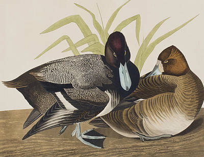 Reeds Drawing - Scaup Duck by John James Audubon