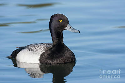 Scaup Swimming Print by Ruth Jolly