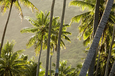Scenic View Of Backlit Coconut Palm Print by Tim Laman