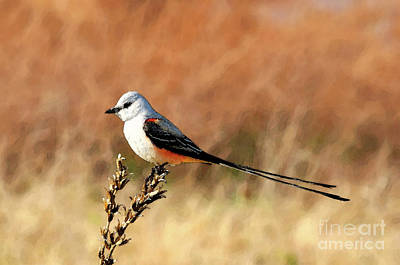 Flycatcher Photograph - Scissor-tailed Flycatcher by Betty LaRue