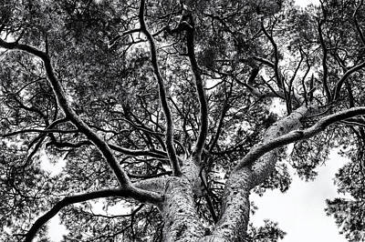 Scots Pine Monochrome Print by Tim Gainey