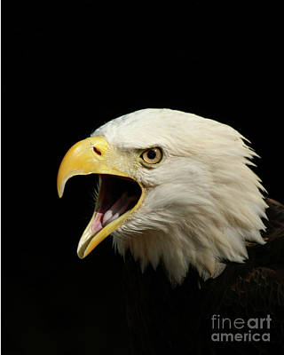 Screaming Eagle Print by Jack Norton