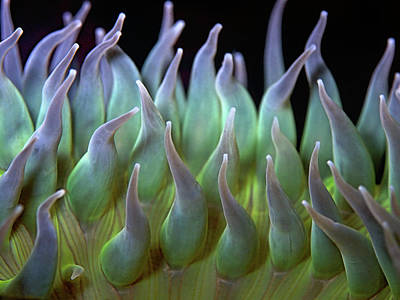 Anemone Photograph - Sea Anemone by by Frank Chen