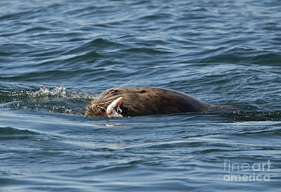 Sea Lion Photograph - Sea Lion Meal by Mike Dawson