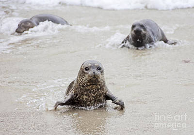 California Wildlife Photograph - Sea Lion Pup by Eddie Yerkish