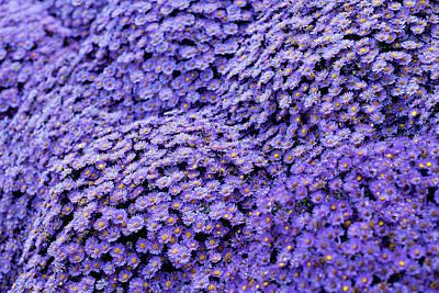Sea Of Lavender Flowers Print by Todd Klassy