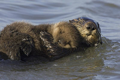 Sea Otter Mother With Pup Monterey Bay Print by Suzi Eszterhas