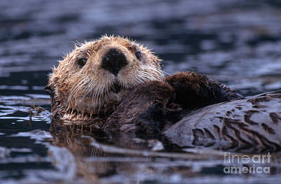 Sea Otter Print by Yva Momatiuk and John Eastcott and Photo Researchers