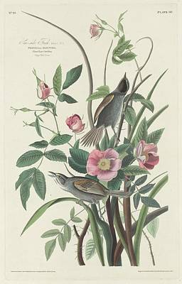 Finch Drawing - Sea-side Finch by John James Audubon