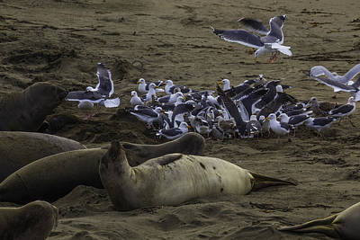 Flying Seagull Photograph - Seagulls And Elephant Seals by Garry Gay
