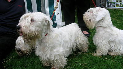 Sealyham Photograph - Sealyham Terriers by Maria Joy