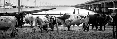 Of Rodeo Bucking Bulls Photograph - Seascape Bsl E50x by Otri Park