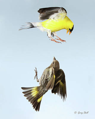Siskin Photograph - See These Claws by Gerry Sibell