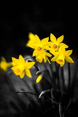 Blue Begonia Photograph - Selective Color On Daffodils by Shelby Young