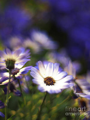 Senetti Dreams Print by Dorothy Lee