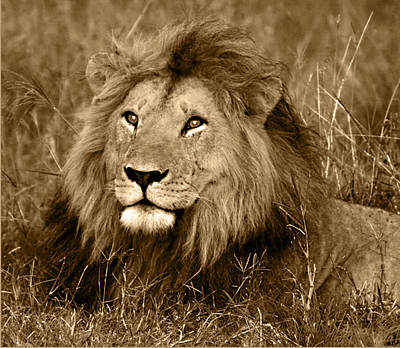 Lion Photograph - Sepia Lion by Nancy D Hall