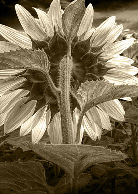 Sepia Tone Of The Back Of A Sunflower Print by Randall Nyhof